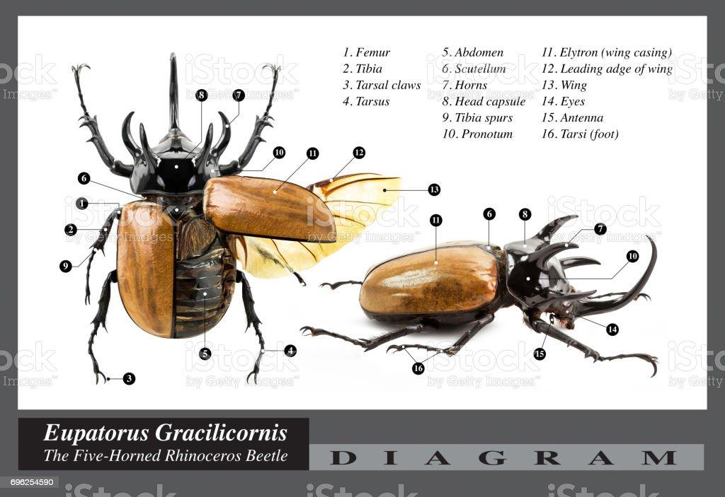 Eupatorus Gracilicornis Beetle Diagram Stock Photo