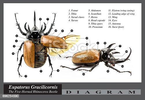 istock Eupatorus gracilicornis beetle diagram 696254590