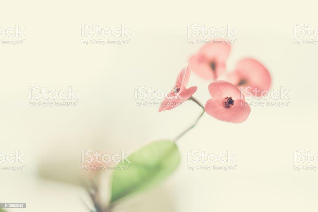 Euphorbe en fleur - Photo