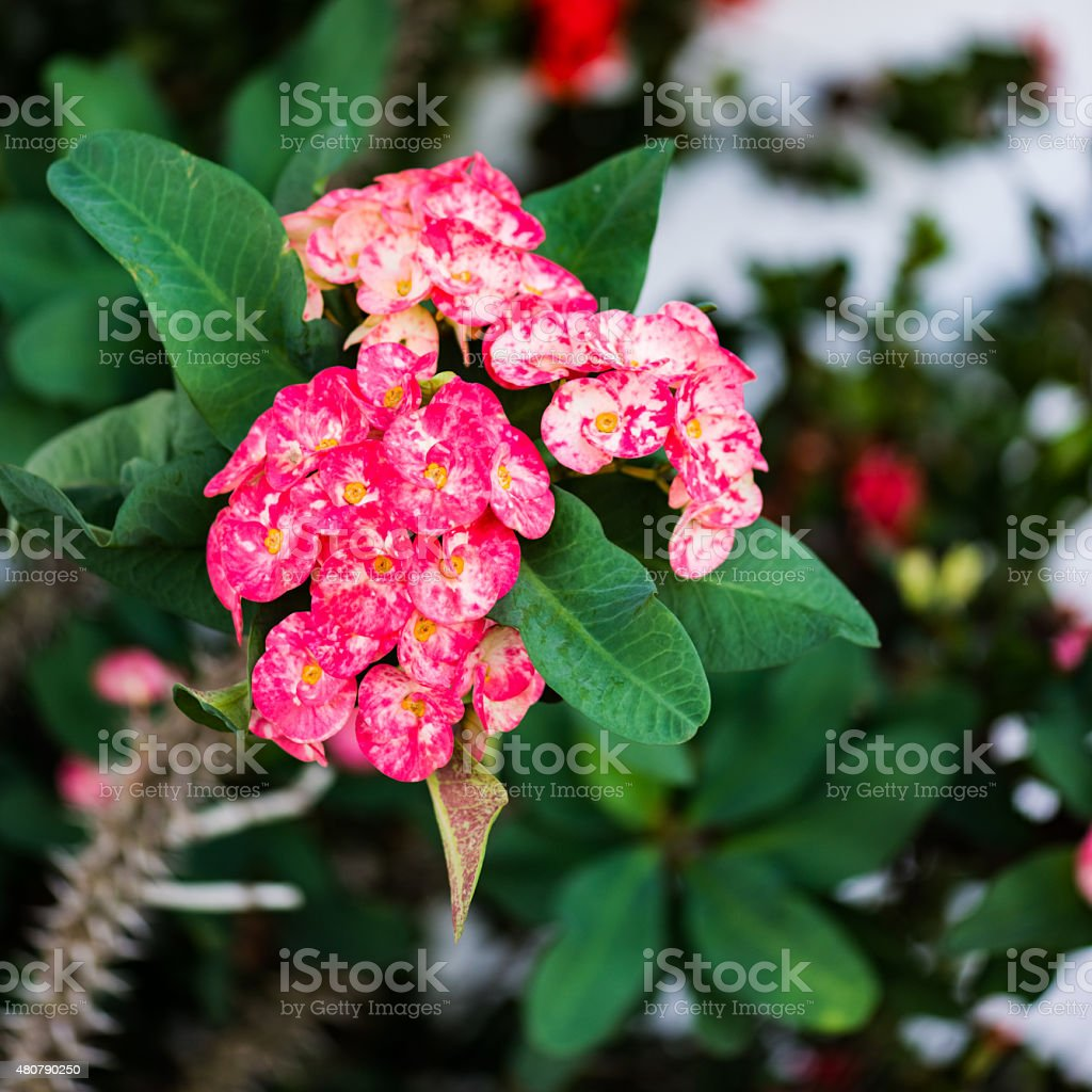 Euphorbia crown of thorns tropical flower square composition stock photo