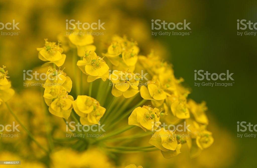 euphorbia cyparissias close up stock photo