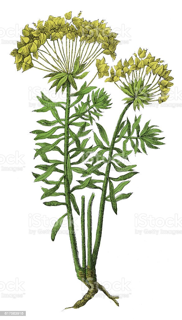 Euphorbia Cyparissias (antique botanical engraving) stock photo