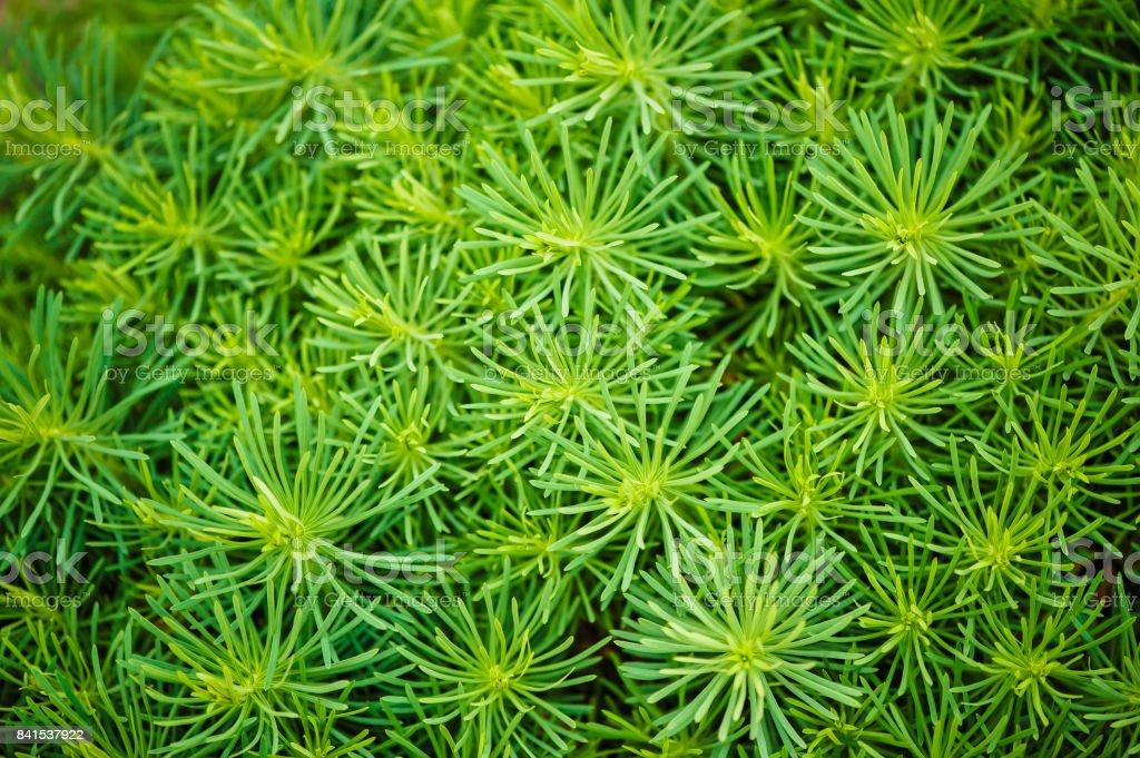 Euphorbia cyparissias. stock photo