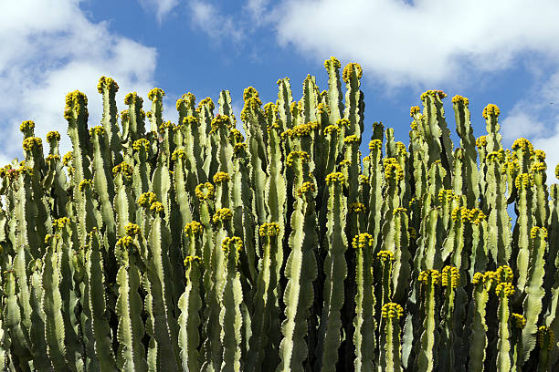 Euphorbia Ingens in flower, botanical garden, Lanzarote, Canary Islands. stock photo