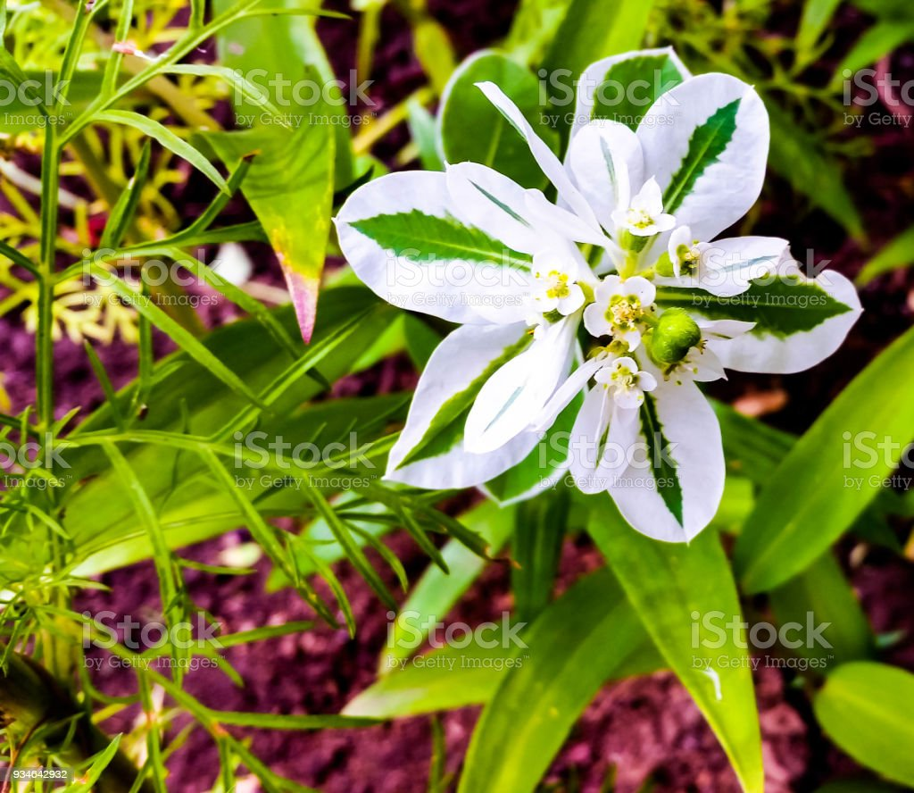 Euphorbia marginata stock photo