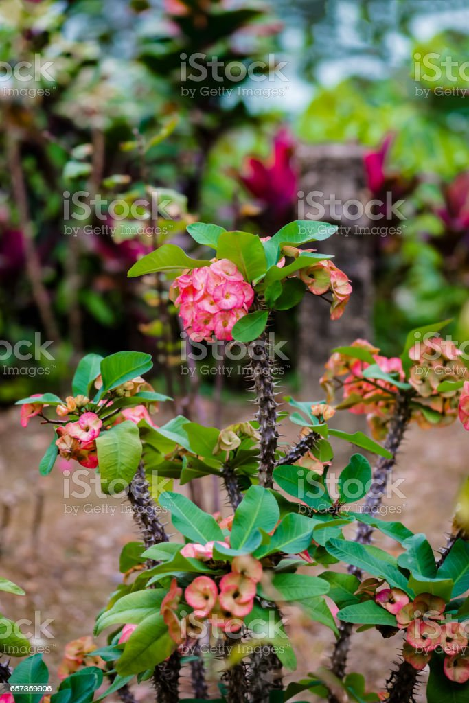 Euphorbia milii crown of thorns cactus toxic tropical plant stock photo