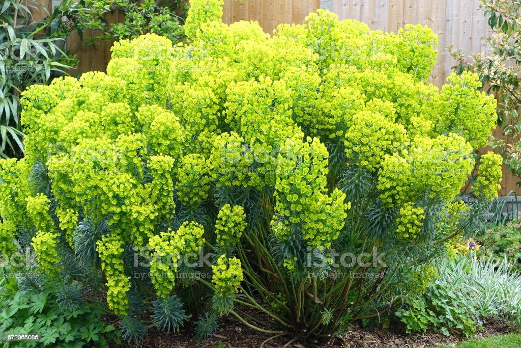 Euphorbia Pflanze in einem englischen Garten – Foto