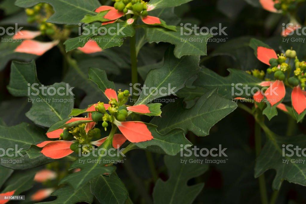 Euphorbia Poinsettia, known to as wild poinsettia. Green and orange leaves, beautiful combination. stock photo