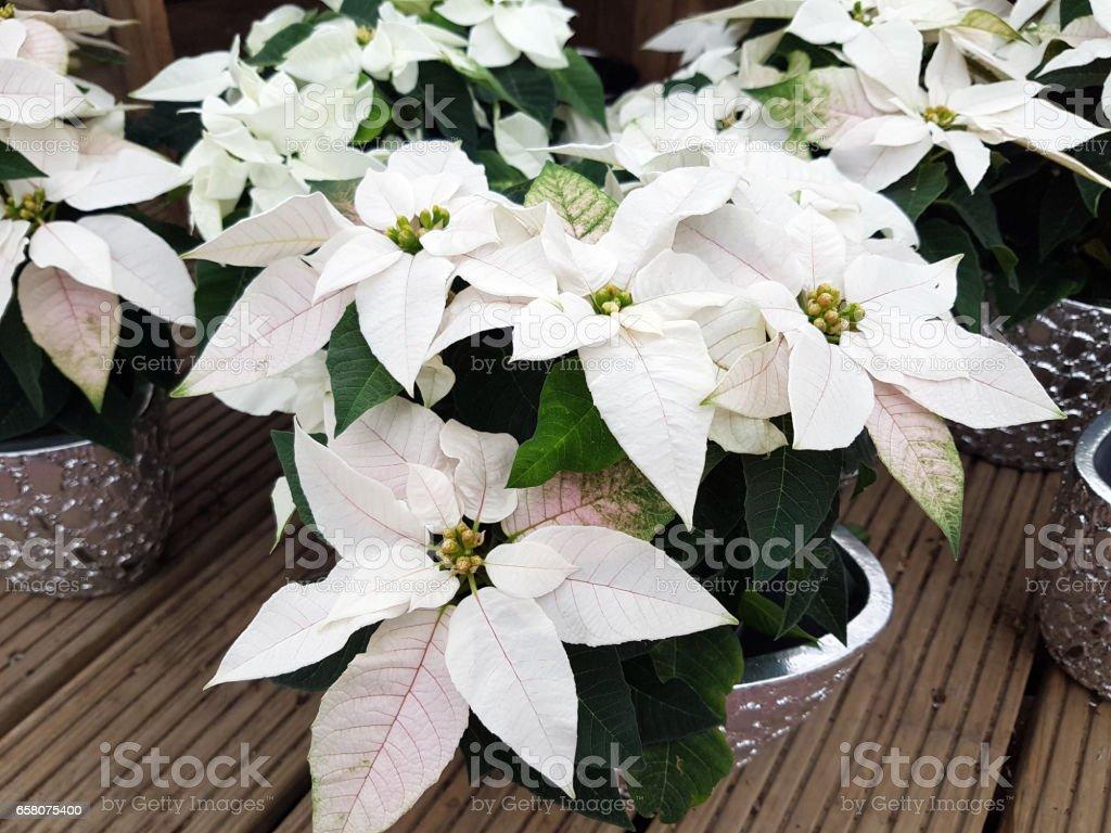 Euphorbia pulcherrim, Princettia royalty-free stock photo