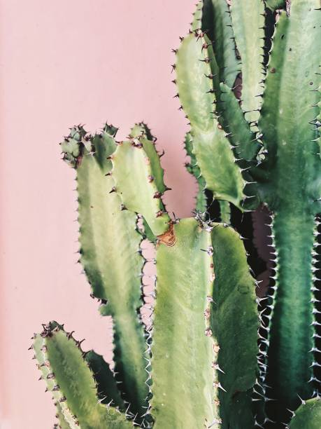 Cactus euphorbia-trigona Processed with VSCO with fp8 preset sharp stock pictures, royalty-free photos & images