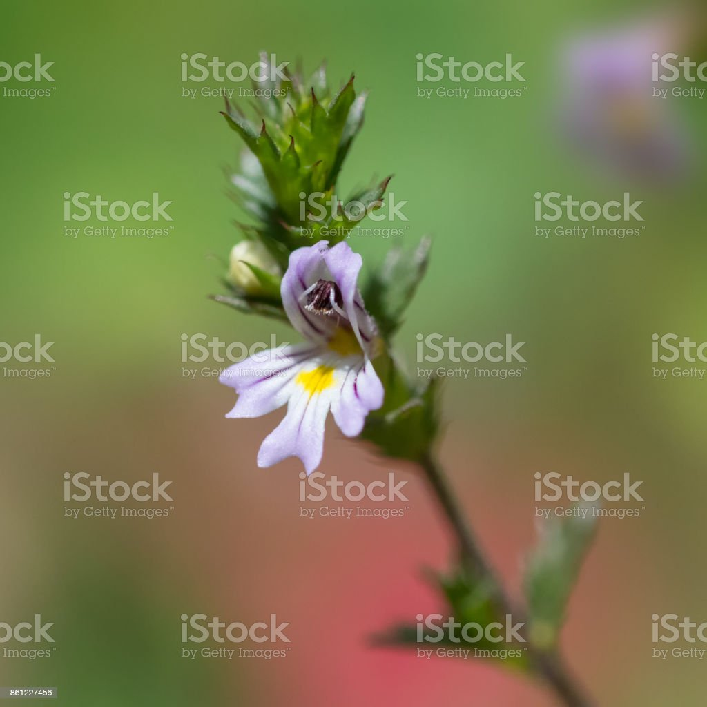 Euphrasia flower stock photo