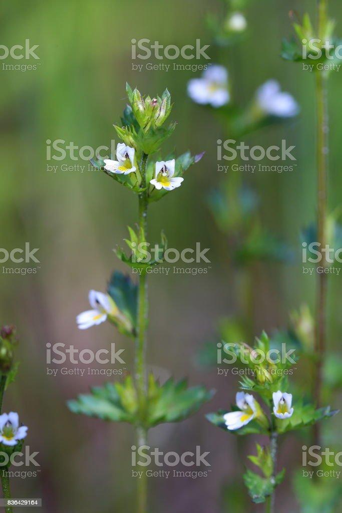 Euphrasia frigida. The flowering eyebright in August on the Yamal Peninsula stock photo