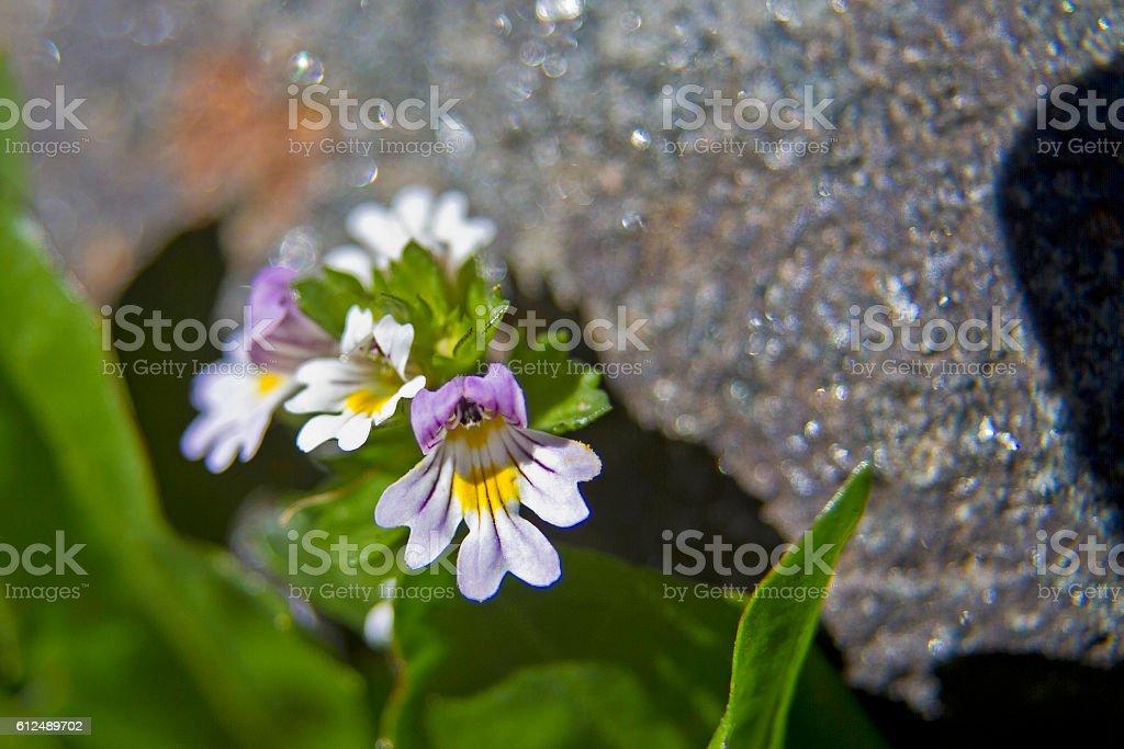 Euphrasia rostkoviana - plant in high mountains stock photo