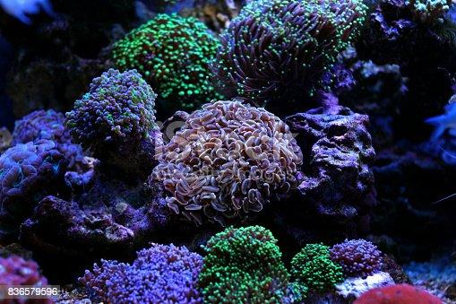 Euphyllia Lps Coral En Acuario - Fotografía de stock y más imágenes ...