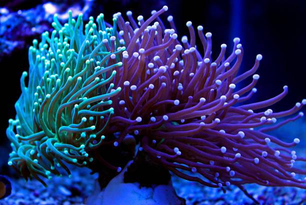euphyllia fackel-bunte lps-korallen im riffaquarium - coral and mauve stock-fotos und bilder