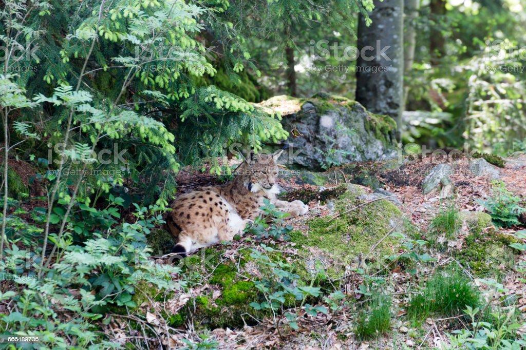 Eurasean Lynx stock photo