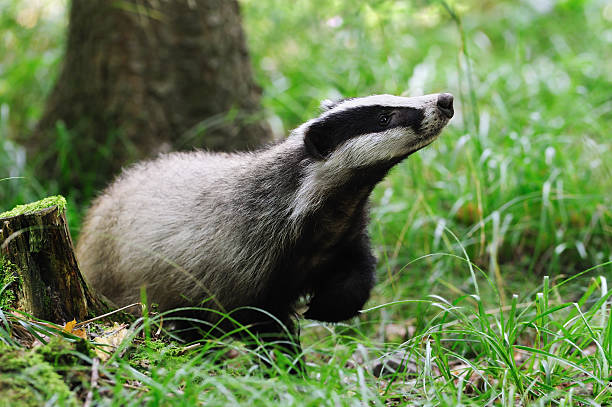 Eurasian badger alone in field stock photo