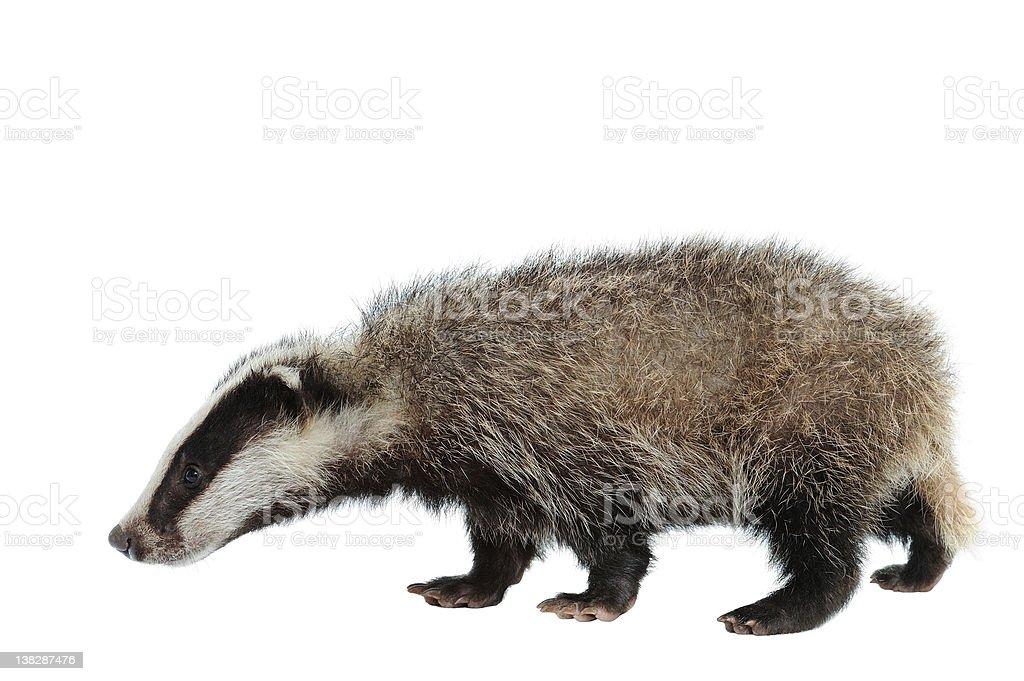 Eurasian Badger stock photo