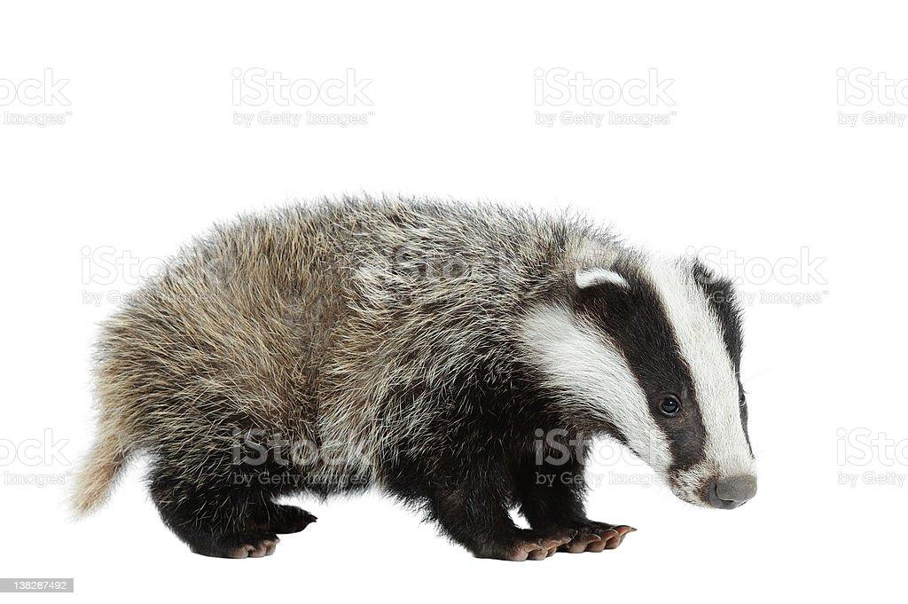 Eurasian Badger royalty-free stock photo