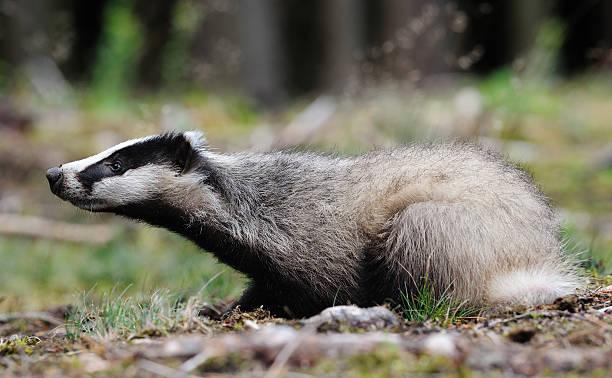 Eurasian Badger (Meles_meles) stock photo