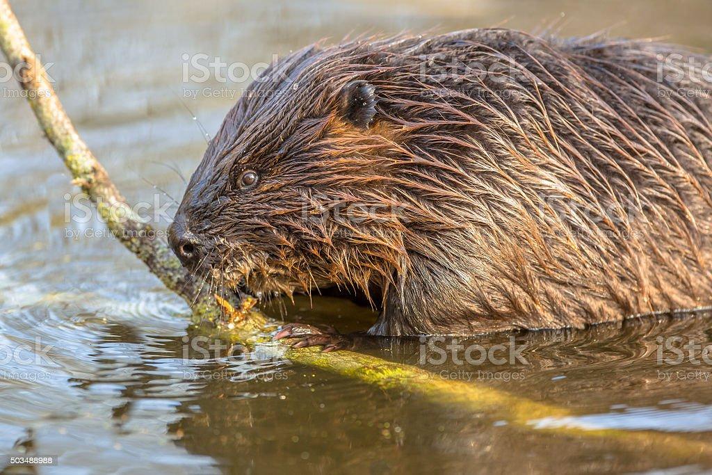 Eurasian beaver biting on a branch stock photo