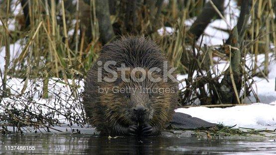 Eurasian beaver or European beaver (Castor fiber)