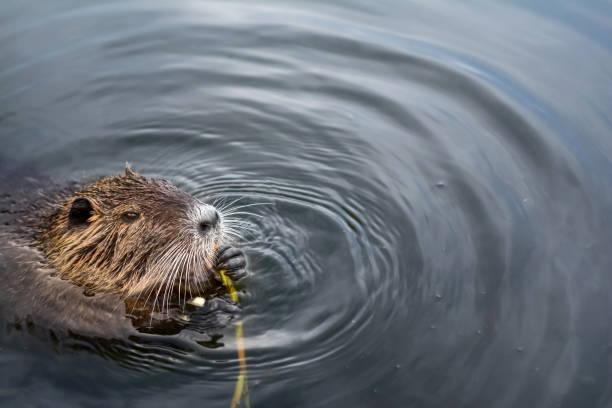 eurasian beaver - beaver stock photos and pictures
