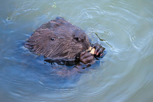 Eurasian beaver( Castor fiber) Rodent, eating. Eurasian beaver( Castor fiber) Rodent, eating. eurasia stock pictures, royalty-free photos & images
