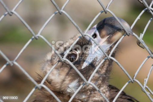 Eurasian Black Vulture Stock Photo & More Pictures of Animals In Captivity