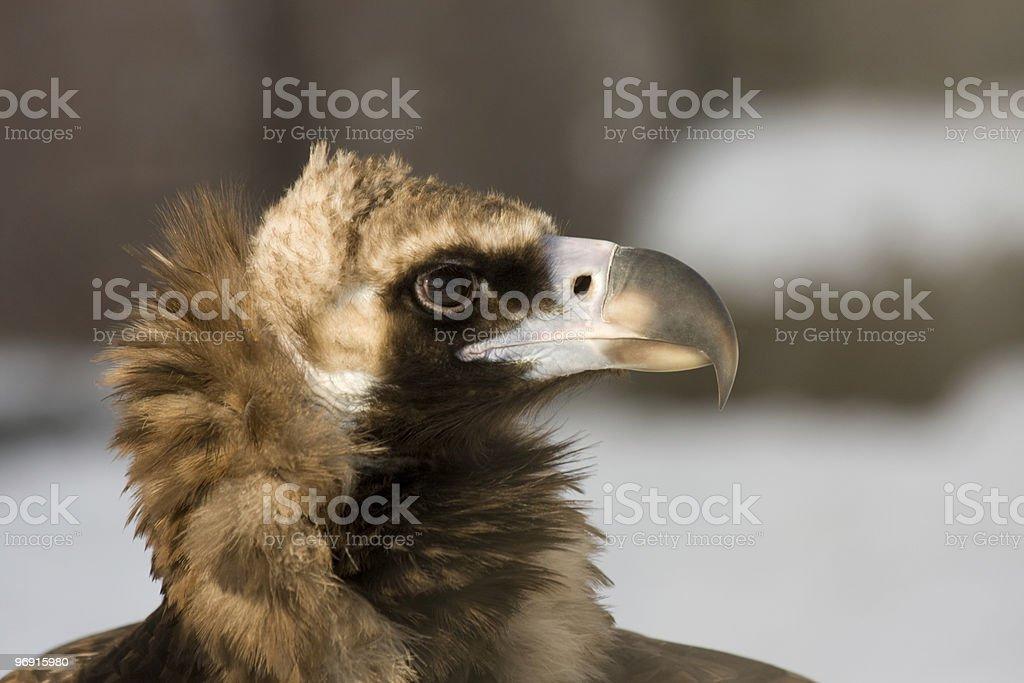 Eurasian Black Vulture royalty-free stock photo