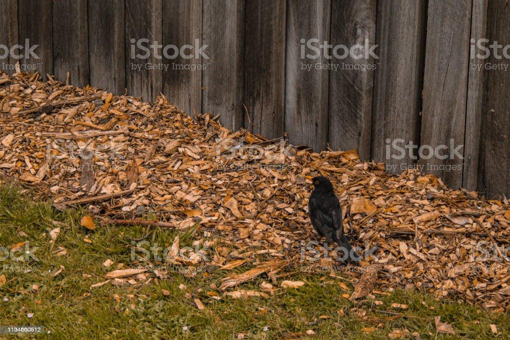 Euraziatische Blackbird (Turdus merula) in Dunedin Botanic Garden, Zuid eiland, Nieuw-Zeeland foto