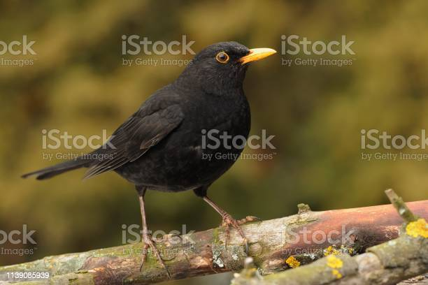 Photo of Eurasian Blackbird - Turdus merula  species of true thrush. It breeds in Europe, Asia, and North Africa, and has been introduced to Australia and New Zealand