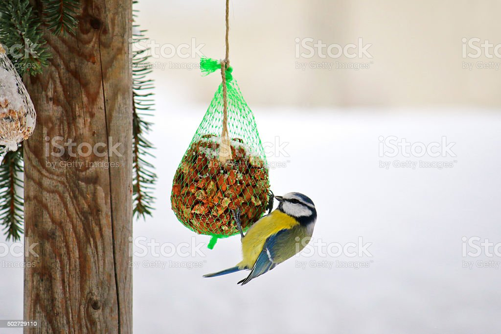 Eurasian Blue Tit bird on a meshed bag of nut stock photo