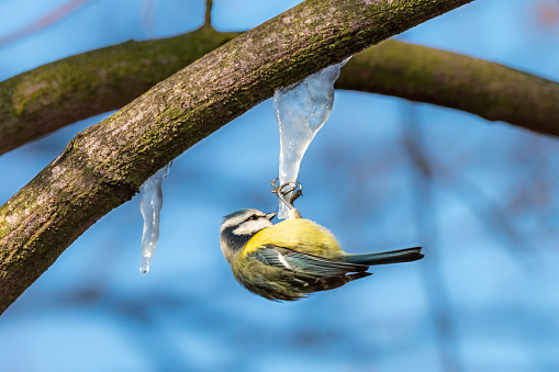 Eurasian Blue Tit Hanging Upside Down On Icicle Stock Photo - Download  Image Now - iStock