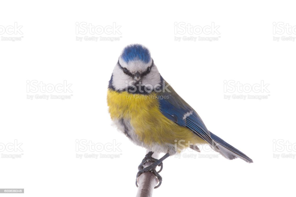 Eurasian Blue Tit stock photo