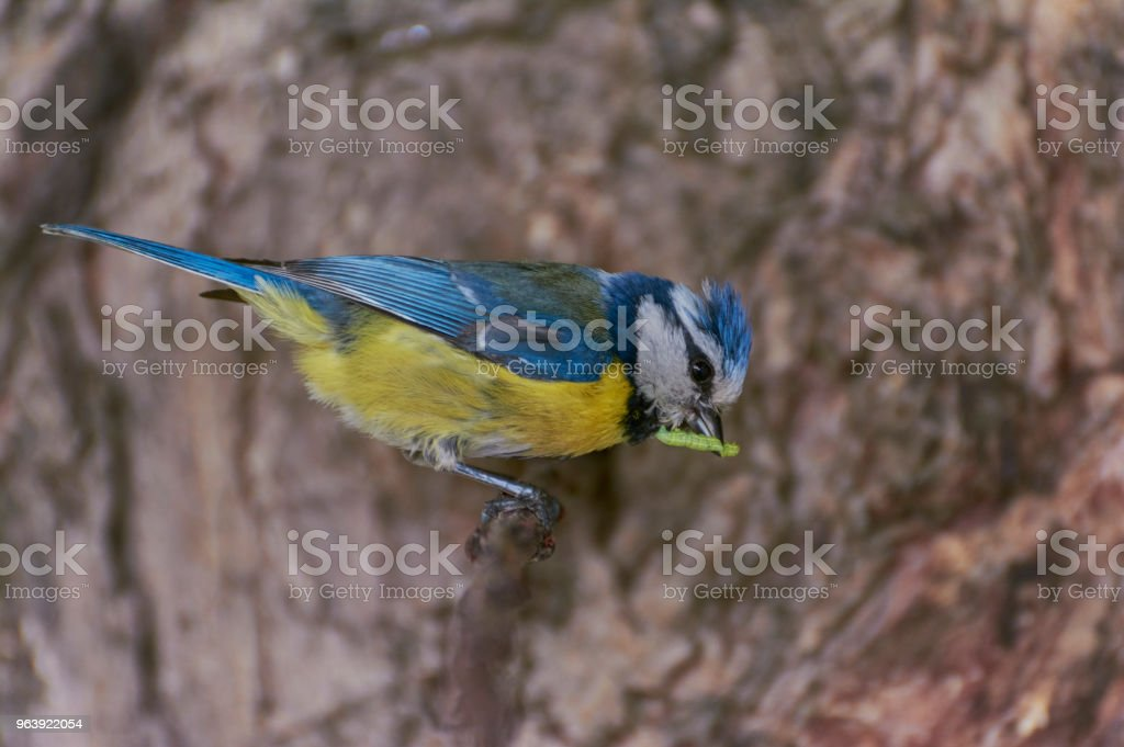 Eurasian blue tit. - Royalty-free Animal Stock Photo