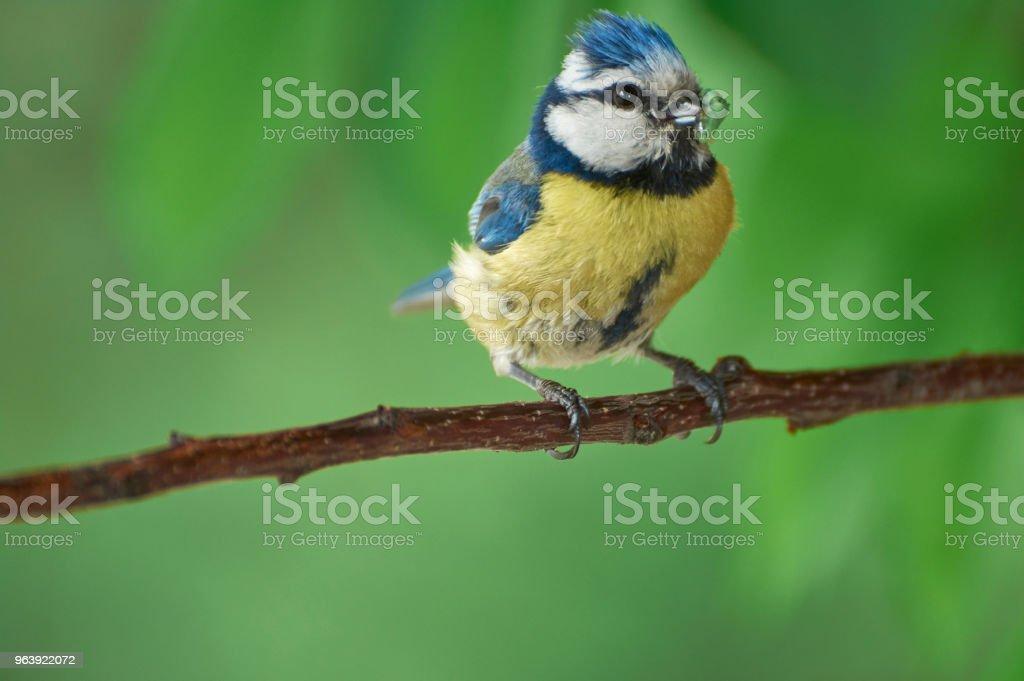 Eurasian blue tit. - Royalty-free Animal Stock Photo