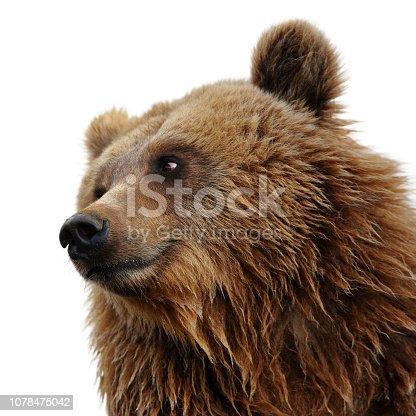 portrait of an eurasian  brown bear on white background