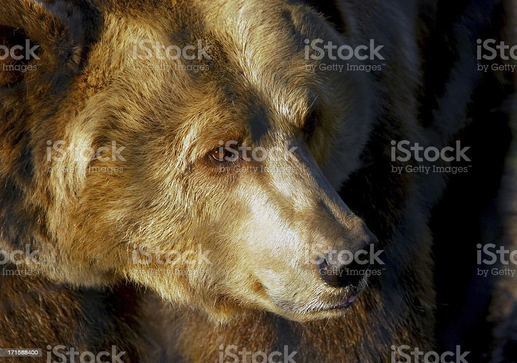 Eurasian Brown Bear royalty-free stock photo