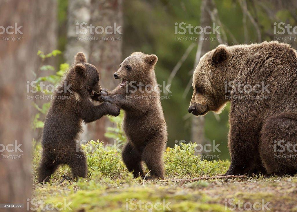 Eurasian brown bear (Ursos arctos) stock photo