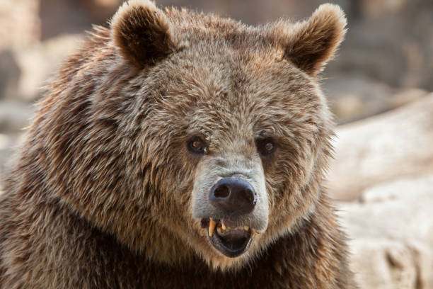 Eurasian brown bear (Ursus arctos arctos) stock photo