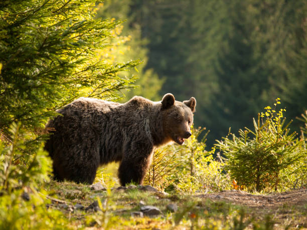 eurasian brown bear - ursus actor actor - slovakia - slovacchia foto e immagini stock