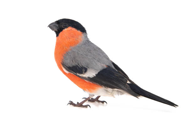 Eurasian Bullfinch, male, Pyrrhula pyrrhula isolated on white background stock photo
