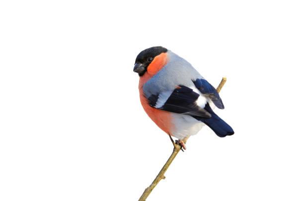 goudvink zittend op een tak (geïsoleerd op een witte achtergrond). - ornithologie stockfoto's en -beelden