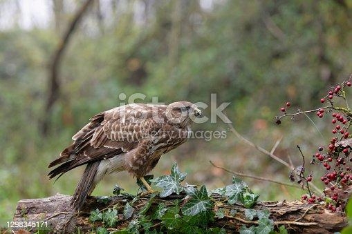 istock Eurasian buzzard (Buteo buteo) 1298345171