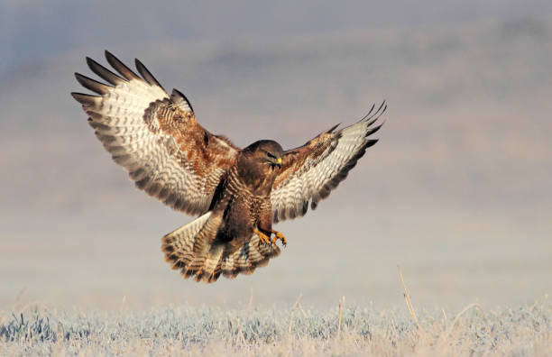 Euraziatische buzzard foto