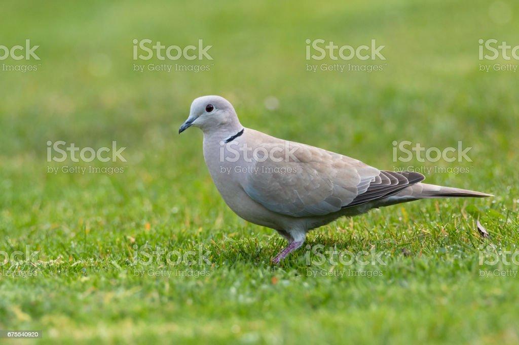 Eurasian collared dove photo libre de droits