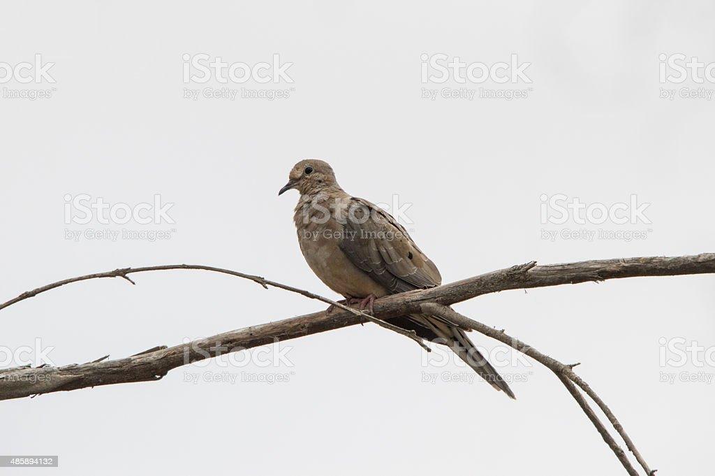 Eurasian Collared-Dove stock photo