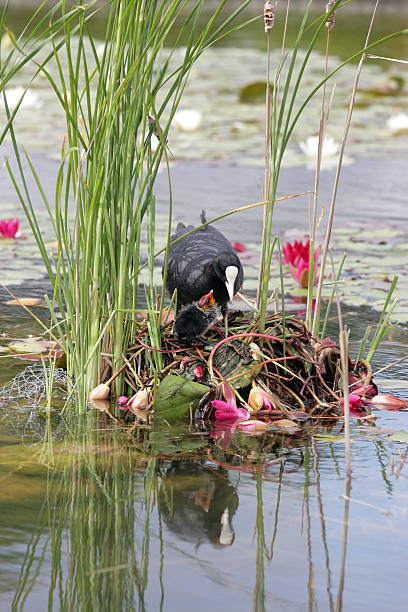 Eurasian Coot, Fulica atra Eurasian Coot, Fulica atra in nest with little young bird. coot stock pictures, royalty-free photos & images