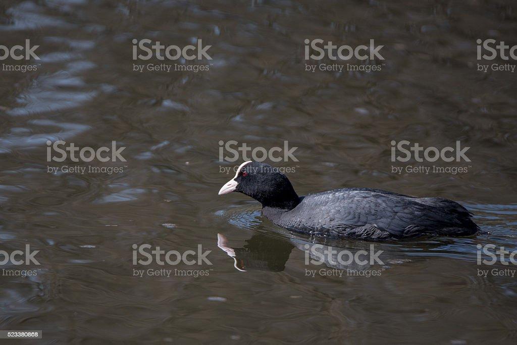 Eurasian coot (Fulica atra) in water stock photo
